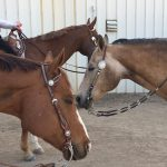 Three horses taking a break from classes during a St. Vrain Roundup Club show.